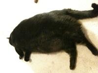 40lb cat named Mr. Zorro